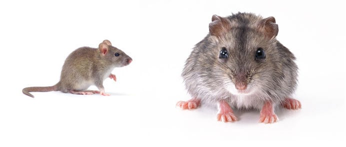 Empresa especialista en eliminar plagas de ratas, Sevilla Córdoba