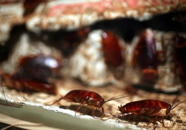 Empresas control de plagas cucarachas. Eliminar cucarachas