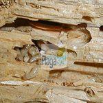 Diferencias entre plagas de termitas y carcomas en la madera
