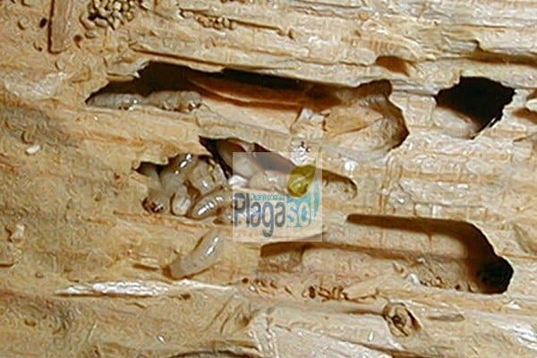 C mo identificar una plaga de termitas en casa o empresa - Carcoma tratamiento casero ...