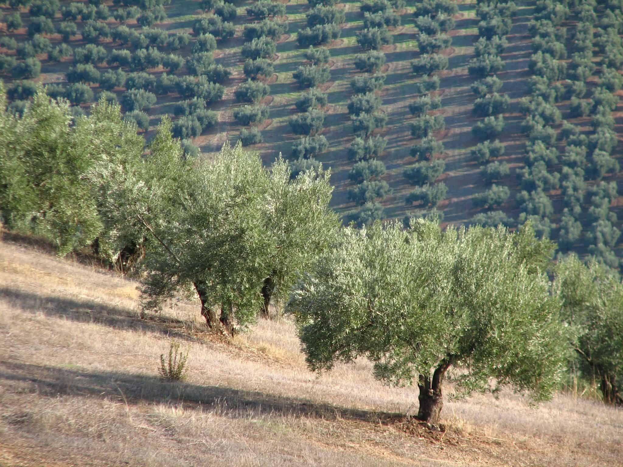 Plaga de insectos en olivos