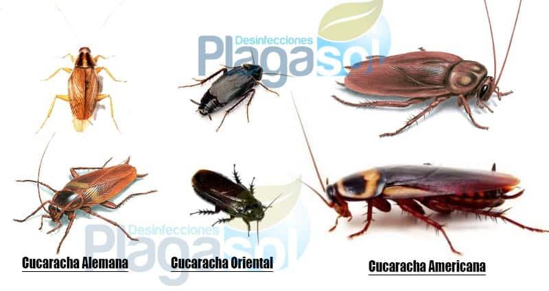 Diferentes tipos de cucarachas en Andalucía