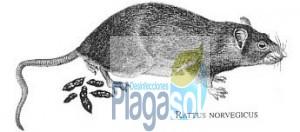 Rata gris de cloaca. Plagas de Ratas en Córdoba y Sevilla