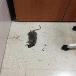Imagen de la rata muerta en el centro de salud de Lucena.