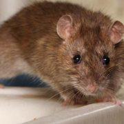 Eliminar plaga de ratas