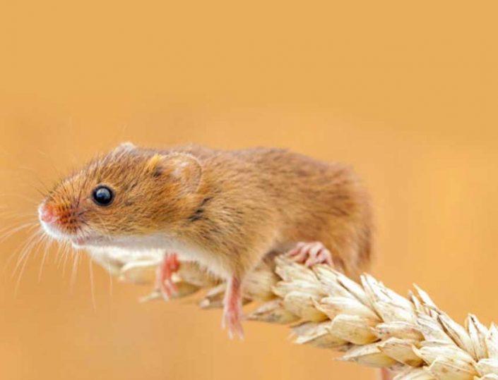 Control de Plagas de Ratas / roedores