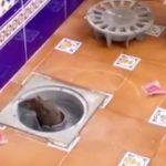 Plaga de ratas en las calles y casas de El Viso del Alcor, Sevilla.