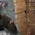 Las ratas se comieron 540 kilos de marihuana