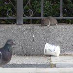 Los vecinos se quejan de la proliferación de ratas en el barrio de la Macarena, en Sevilla.