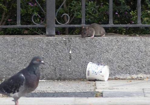 Ratas Barrio Macarena Sevilla