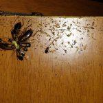Plaga de Cucarachas germánicas, ingiriendo gel insecticida en tratamiento aplicado en cocina de casa particular.