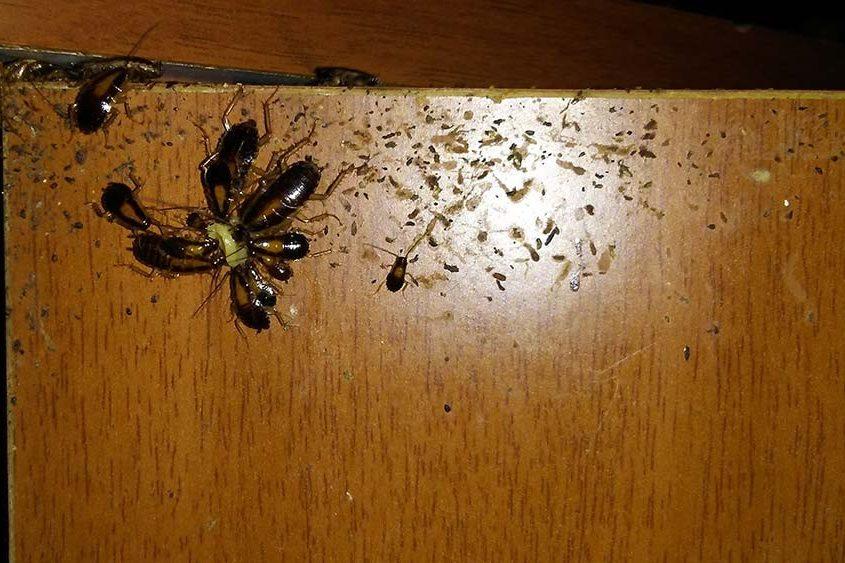 Plaga de cucarachas germánicas en cocina