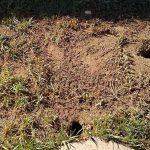 Plaga de ratas en jardín de urbanización privada