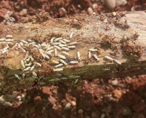 termitas casa señorial centro de Écija